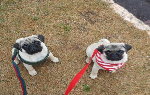 Frank e Jake – Pug
