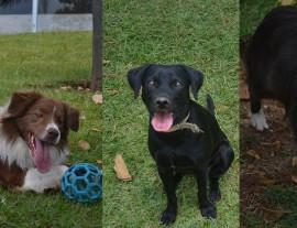 Cães de raça ou SRD